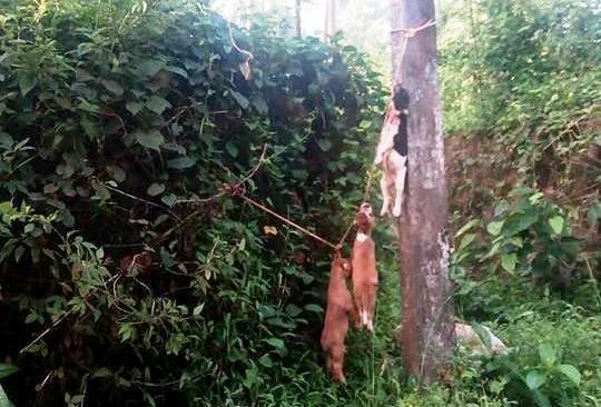 Dog carcasses hanging